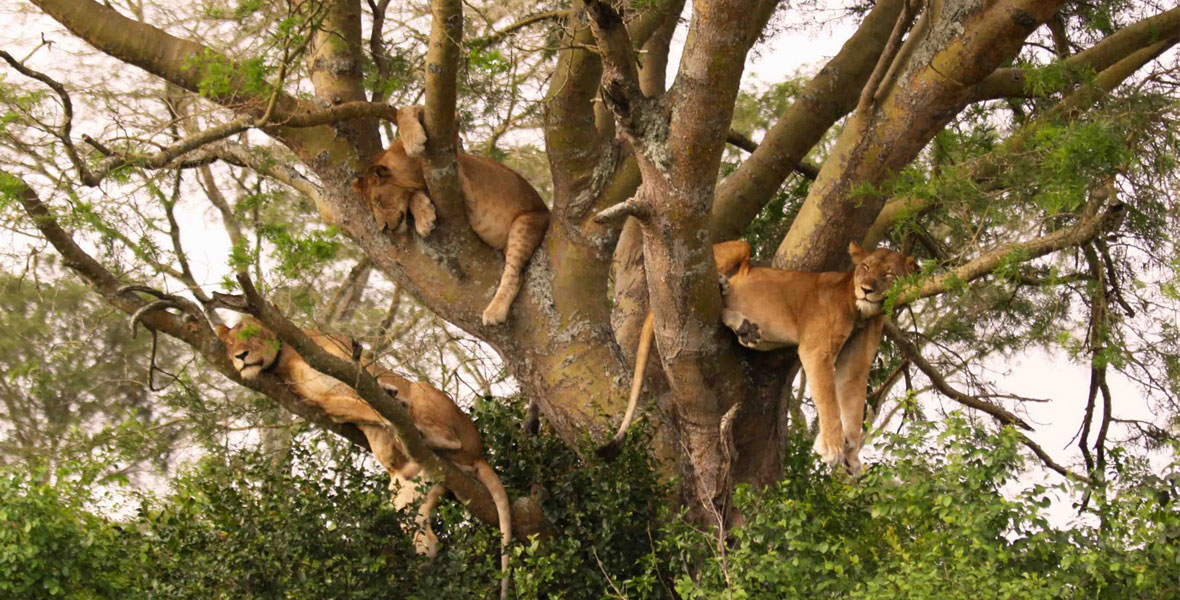 Tree Climbing Lions in Africa