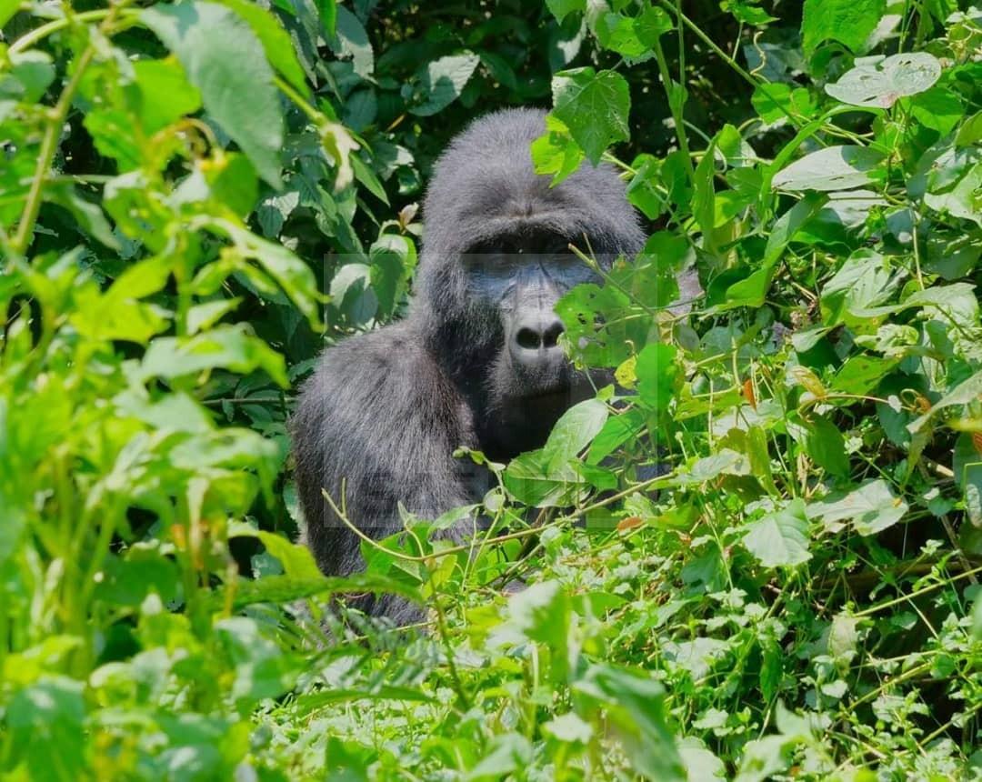 Bwindi Uganda Gorilla Trekking Safari