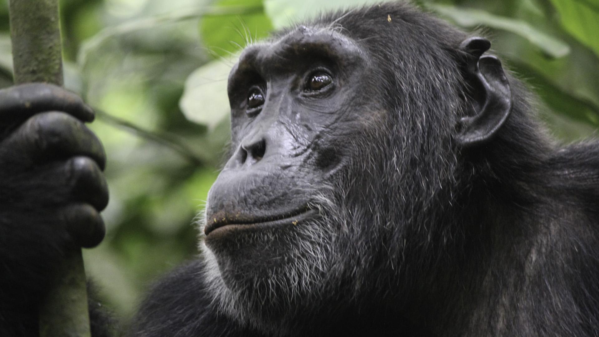 4 Days Chimpanzee Trekking Safari