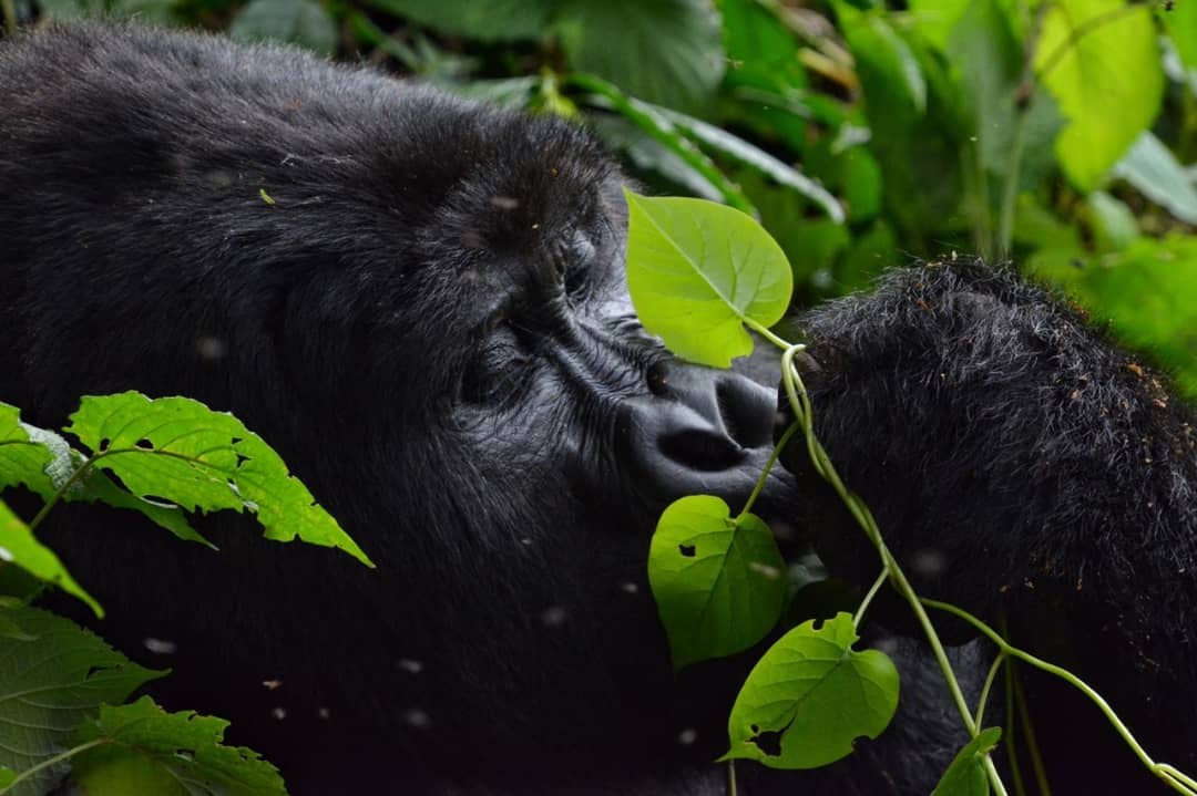 4 days Bwindi Forest Uganda Gorilla Safari