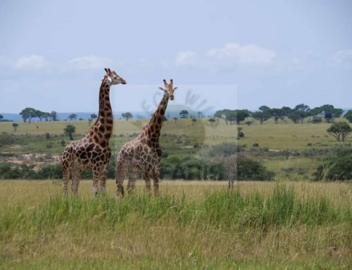 4 Days Short Uganda Wildlife Safaris Tour