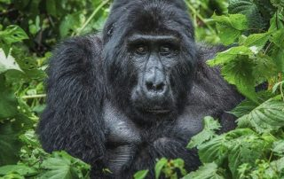 Age Limit for Gorilla Trekking in Rwanda