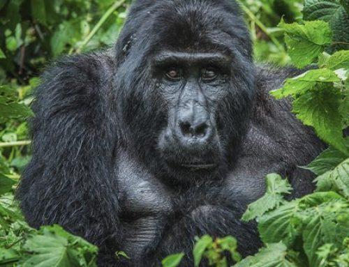 Age Limit for Gorilla Tracking in Rwanda