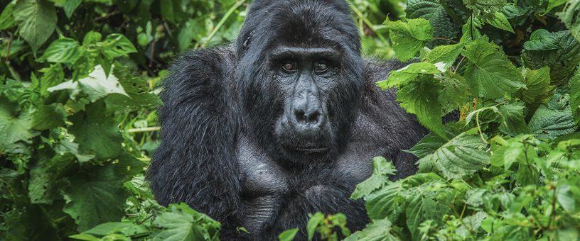 Age Limit for Gorilla Trekking in Rwanda