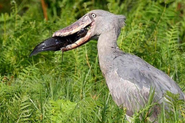 mabamba-bay-swamp-birding-shoebill-1200x675