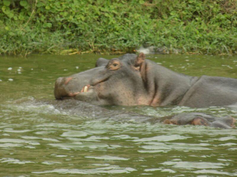 HIPPOPOTAMUSES WELL KNOWN AS HIPPOS