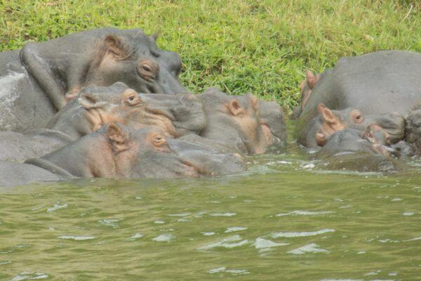 Hippos in Murchison Falls