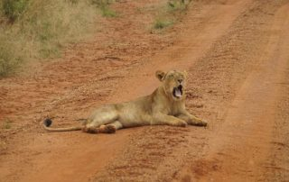 Facts about lions - king of the jungle.