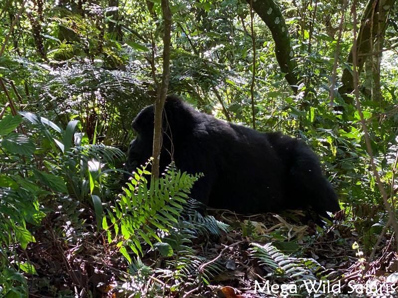 4 Day Bwindi Uganda Gorilla Safari