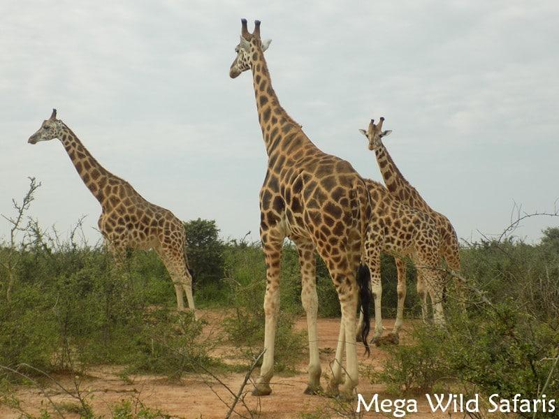 Rothschild giraffes – Giraffes in Uganda