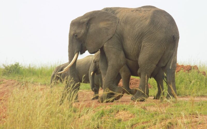 Facts About African Elephants