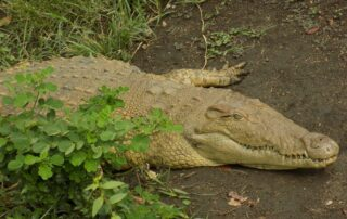 Facts About Nile Crocodile - Freshwater Hunter