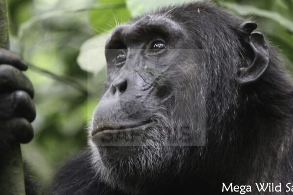 Chimps in KIbale forest