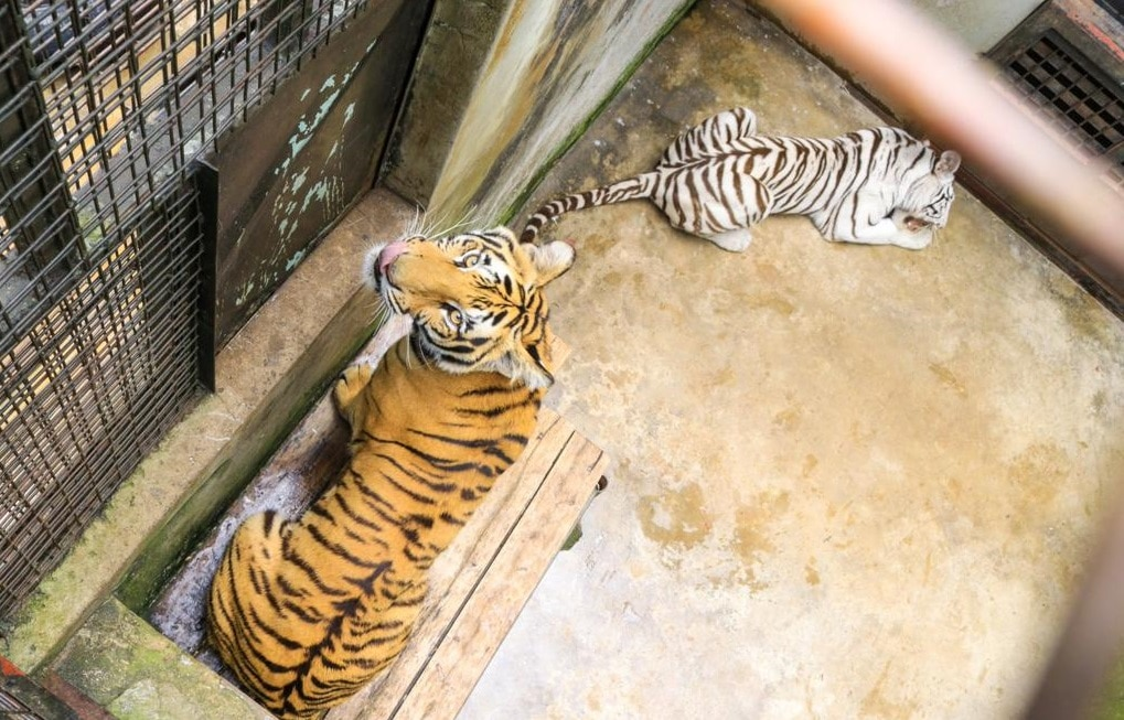 tigers in Uganda