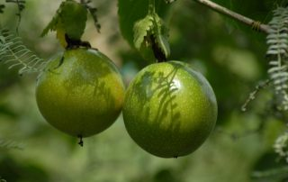 Discover Different Fruits in Uganda