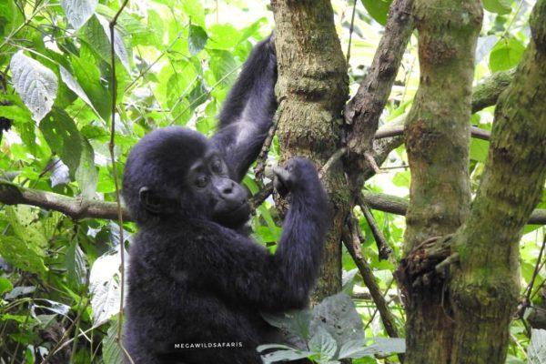Best Wildlife Safari in Uganda