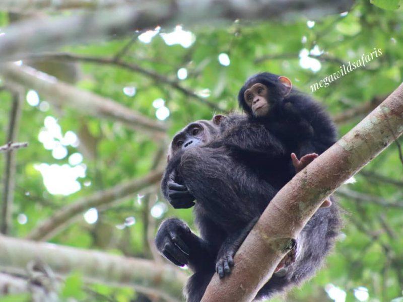 Uganda Primates Tour
