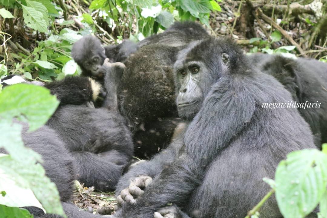 How Difficult is Gorilla Trekking?